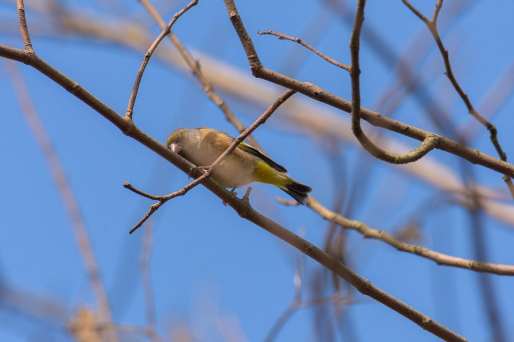 greenfinch, bird, branch